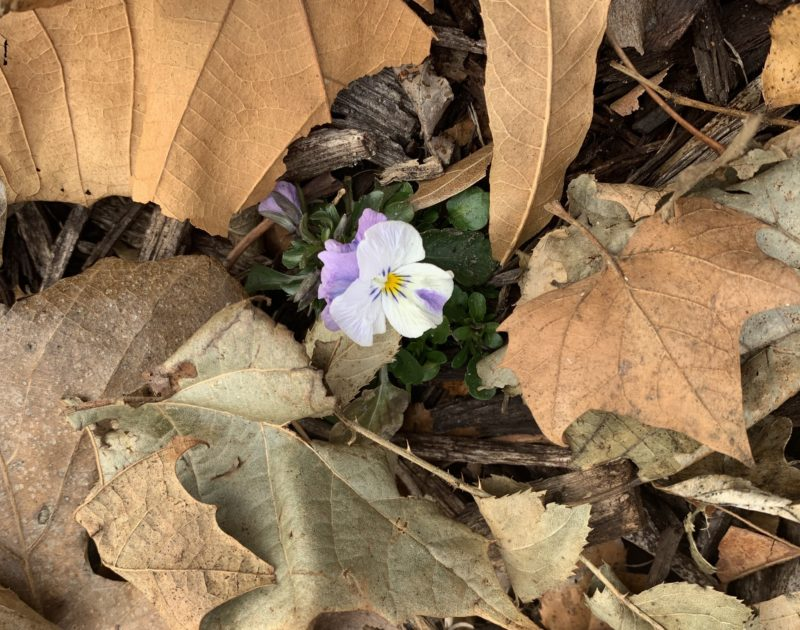 Pansy growing among dead leaves